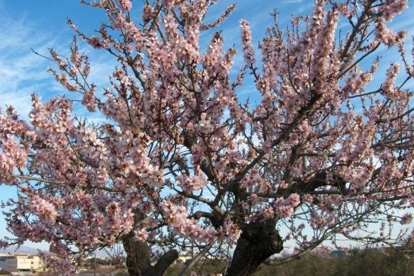 Descripción detallada del árbol de almendras, plantación y cuidado.