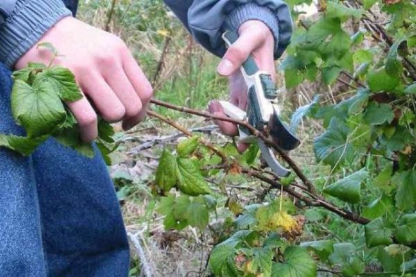 La poda de grosellas negras, rojas y blancas en el otoño: una guía para principiantes