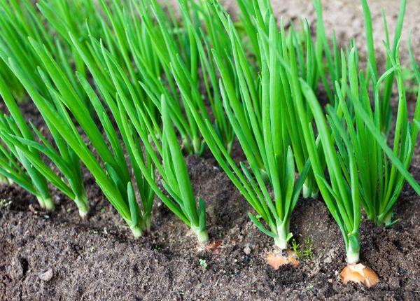 Cebollas crecientes