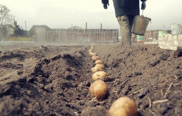 Plantación de patatas en la región de Leningrado
