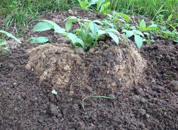 Cultivo de patatas con tecnología china.