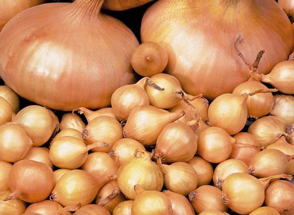 Siembra de nabos de cebolla de sevka