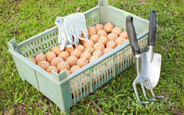 Patatas antes de plantar