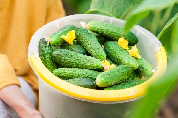 Con la ayuda de los aderezos correctos puede aumentar el rendimiento y el sabor de los pepinos.