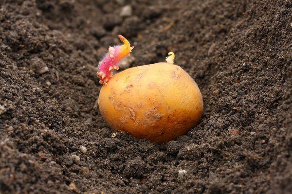 Plantación de patatas en la región de Moscú