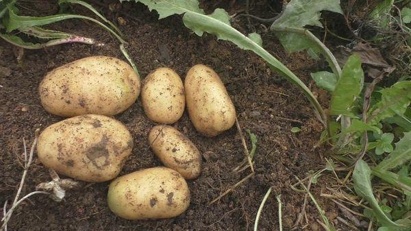 Siderados para patatas
