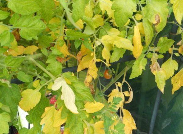 ¿Por qué las hojas de los tomates se vuelven amarillas?
