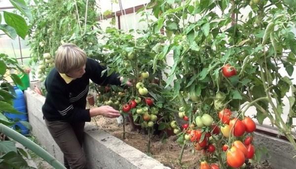 Cuidado del tomate