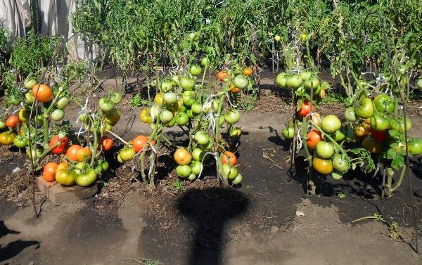 Cultivo de tomates según el método de I. M. Maslov.
