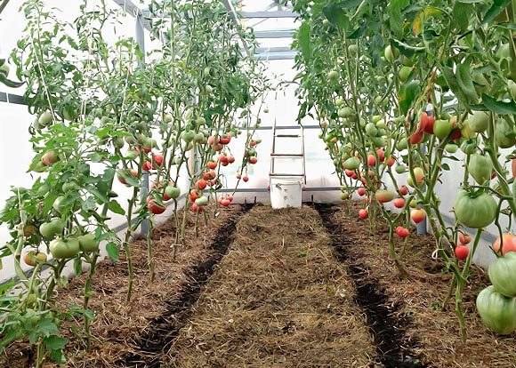 Cubrir los tomates