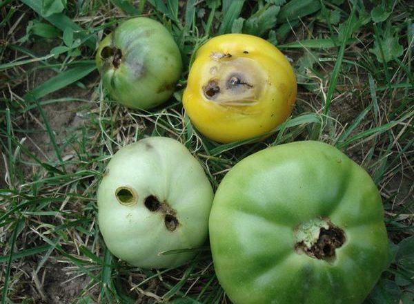 Gusano en tomates en un invernadero