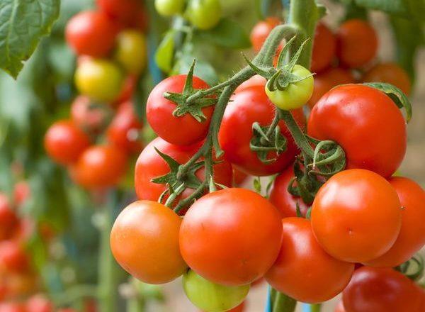 ¿Qué se puede plantar después de los tomates?