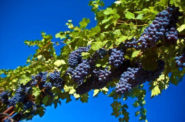 Uvas en la vid