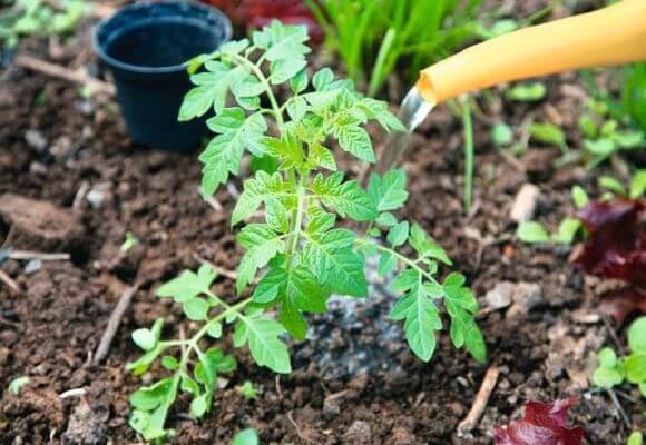Para mejorar el crecimiento puedes regar los tomates con mezclas de fertilizantes.