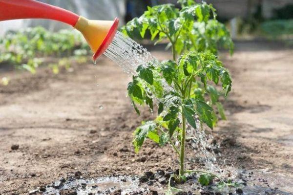cómo alimentar las plántulas de tomate