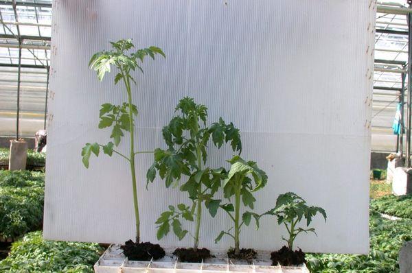 Los retoños muy crecidos tienen una altura de unos 50-60 cm.