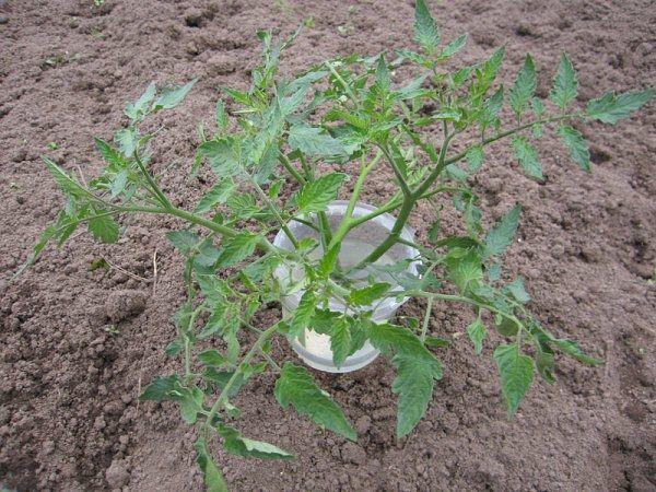 Las plántulas crecidas en exceso se pueden cortar por la mitad y crecer más como 2 plántulas