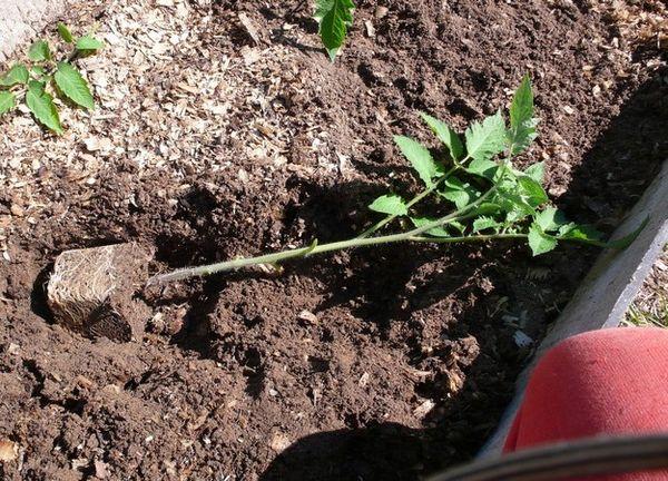 Las plántulas muy crecidas deben plantarse acostadas.