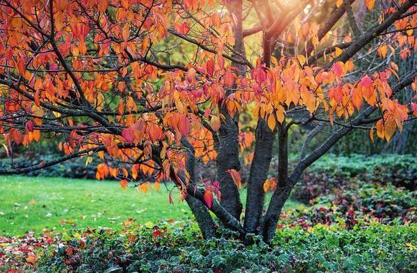 Aderezo de ciruela en otoño.