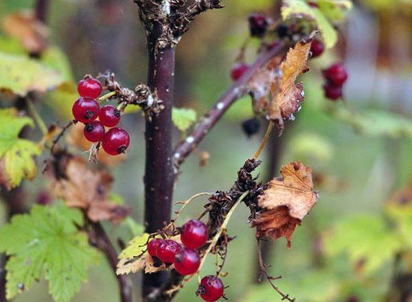 Cuidado de grosellas en el otoño