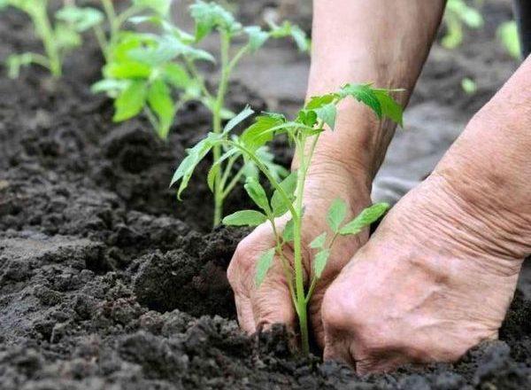 Trasplante de plántulas de tomate en invernadero.