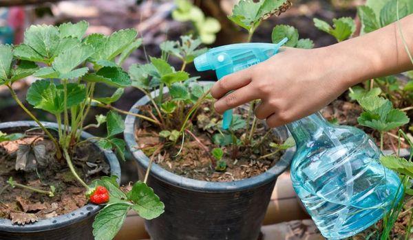 El uso de sulfato de magnesio para plantas.