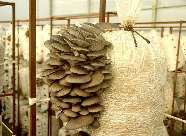 Cultivar hongos ostra en casa
