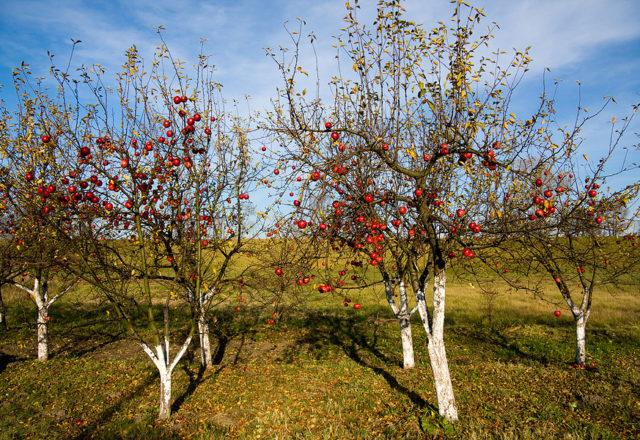 Aderezo de manzanos en otoño.