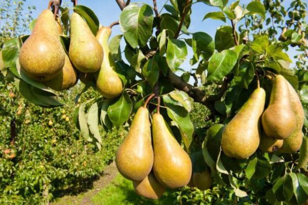 Las mejores variedades de peras.