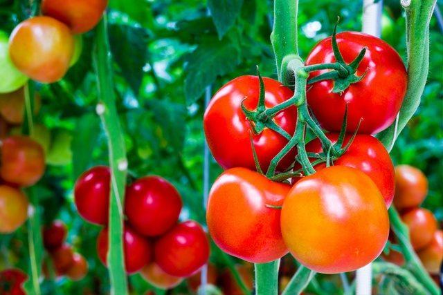 Enmascaramiento de tomates