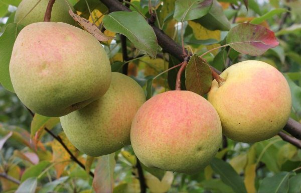 Rossoshanskaya - una pera con los frutos de la maduración del otoño