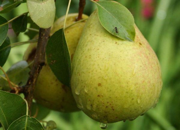 Bessemyanka pera pertenece a variedades de alto rendimiento