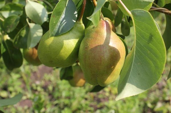 Milagro de la pera