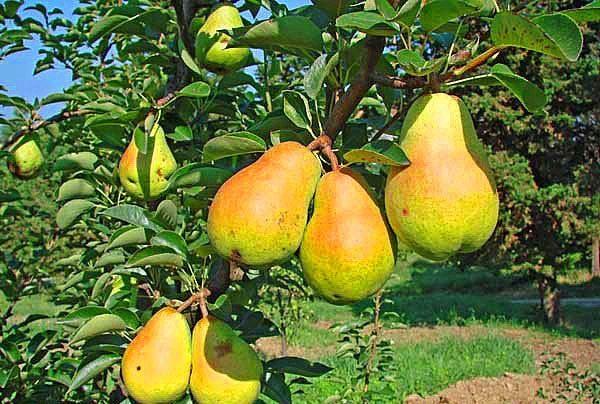 Variedad de pera de verano pera duquesa