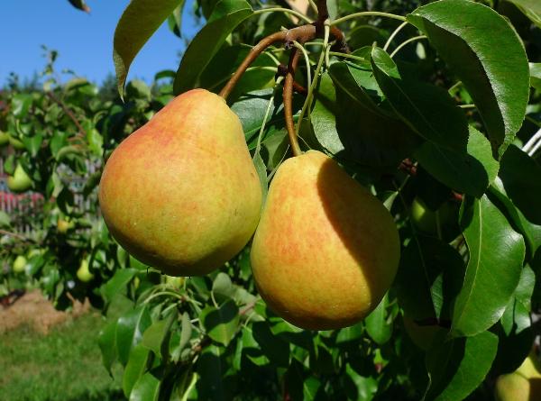 Pear Lada se refiere a las variedades de principios de verano.