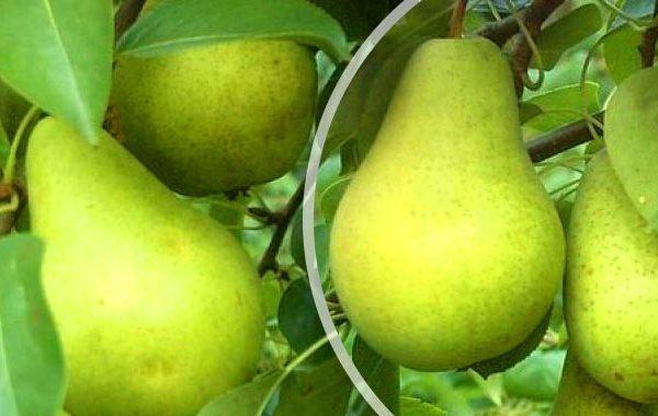 Las frutas de la variedad Pervomayskaya se pueden guardar hasta 8 meses
