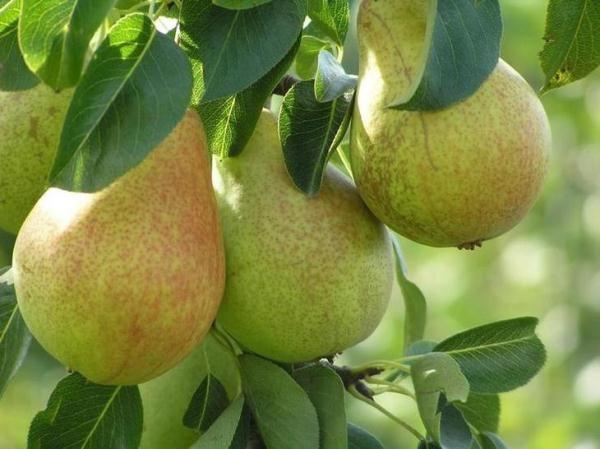 Saratovka variedad de pera resistente a las heladas