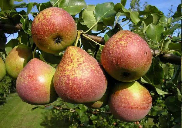 Fruta de pera de mármol