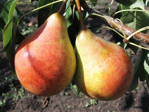 Variedad de peras Bere Giffard
