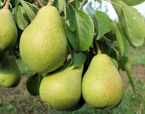 Variedad de peras del norte