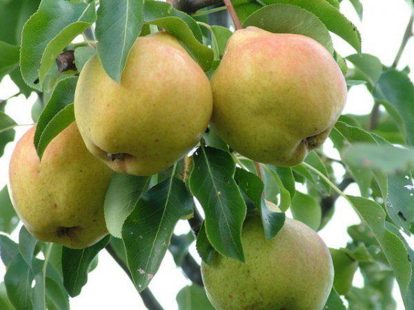 Rama de pera Moskvichka con frutas