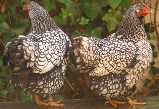 Razas de pollos
