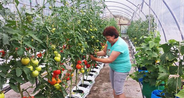Los pepinos y los tomates son mejores para aislarse entre sí.