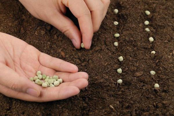 Cómo plantar guisantes en campo abierto.