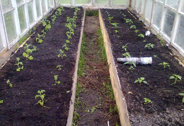 Cuándo plantar tomates en un invernadero en Siberia