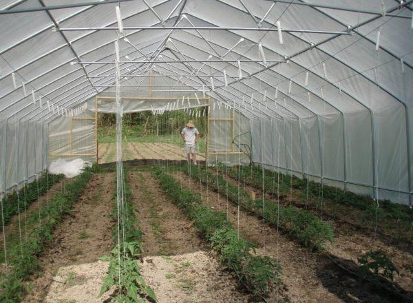Términos para la siembra de tomates.