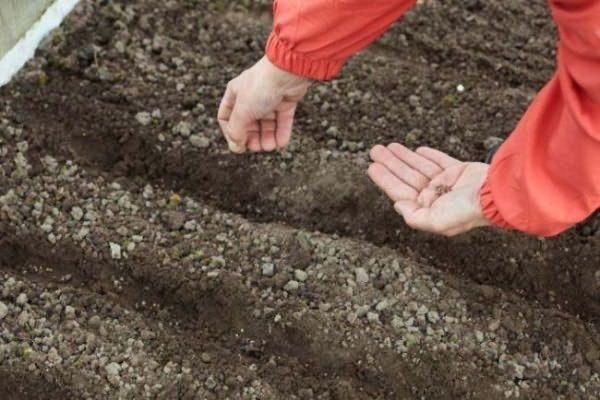 Mezclado con el suelo se esparcen semillas en el jardín.